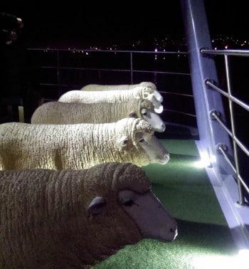 Mona ferry sheep seats. Photo by A-M Peard